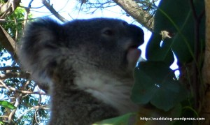 Another koala, about to tuck into a delicious lunch of eucalyptus leaves