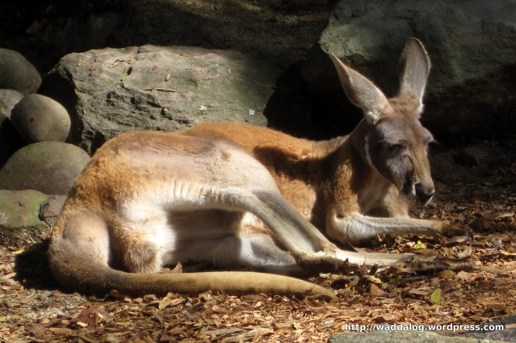 Red kangaroo, Macropus rufus, chillaxin' in the morning sun