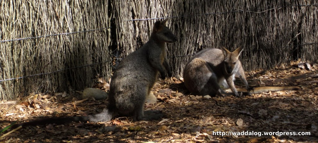Red necked wallaby, Macropus rufogriseus.   If you hang out in the bush all day... you might be a redneck