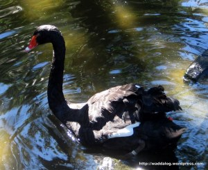 Black Swan goes for a paddle