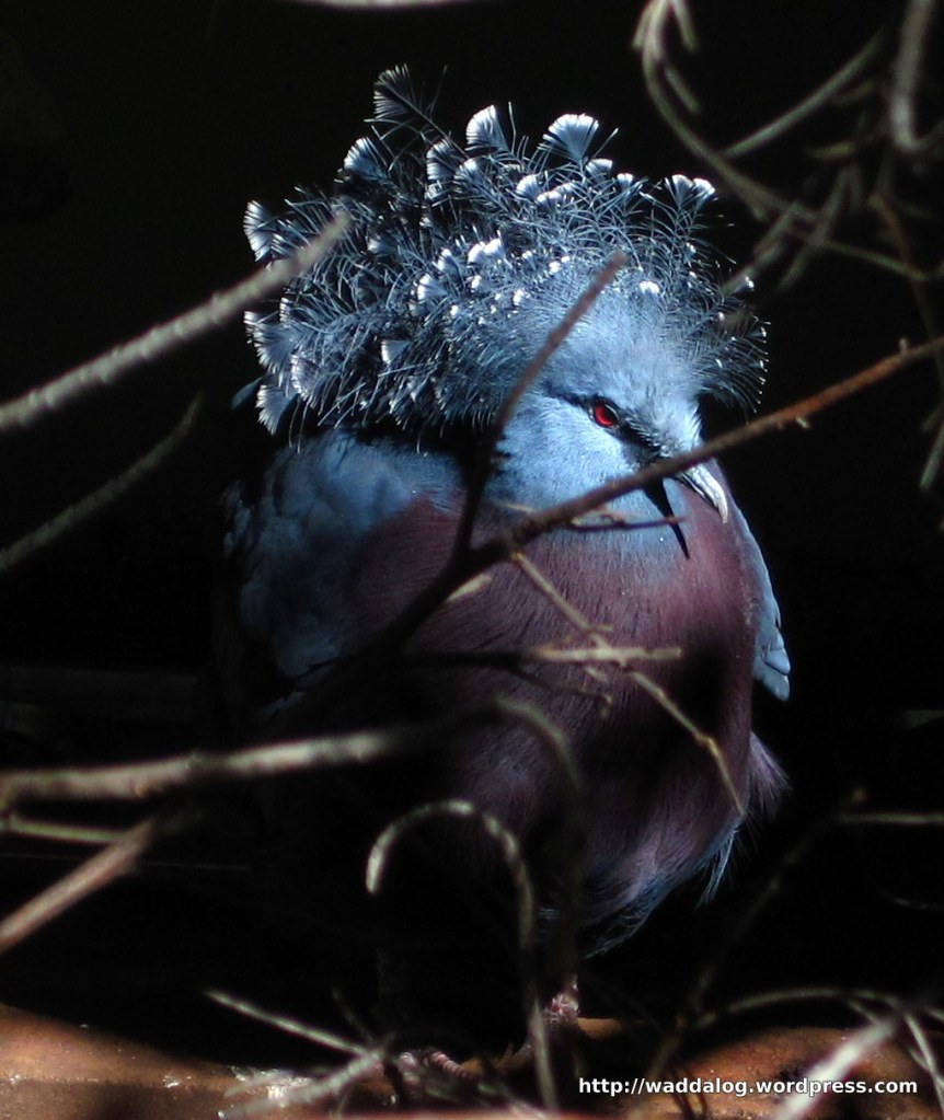 Victoria Crowned Pigeon, Goura victoria, native to New Guinea 9187-1 Flooded crop circle