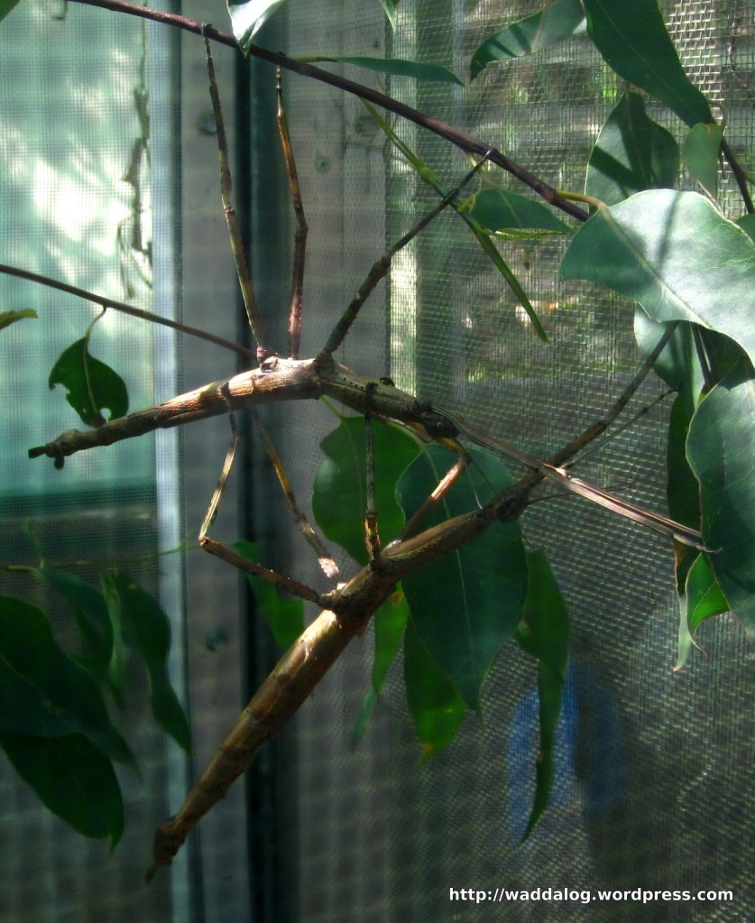 2 Strong Stick Insects, Ctenomphodes briarius, 'Easy to care for, don't bite, generally don't produce any stinky smells...easy to handle...the ideal pet.'   I guess we'll call 'em Sticky 1 and Sticky 2