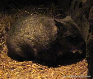 Another wombat, about to scratch his nose on the wall